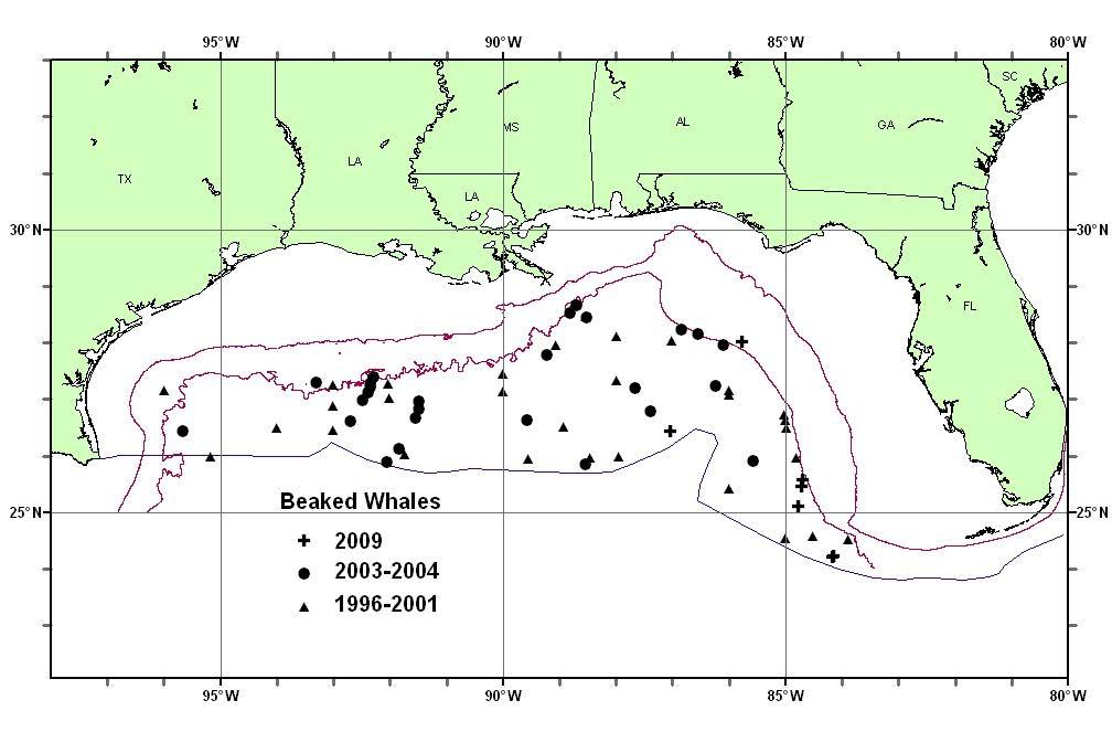 Beaked Whale spp